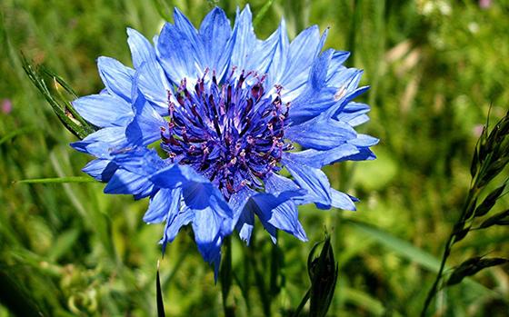 uitheemskerk_0038_Centaurea